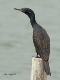 Indian Cormorant - breed - 2010