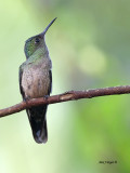 Scaly-breasted Hummingbird - 2013 - looking up
