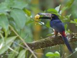 Collared Aracari 2013 - feeding