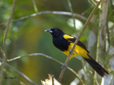 Black-cowled Oriole - 2013 - 2