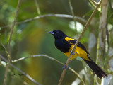 Black-cowled Oriole 2013