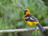 Spot-breasted Oriole 2013