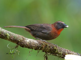 Red-throated Ant-Tanager - male - eating - 2013