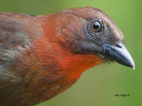 Red-throated Ant-Tanager 2013