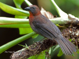 Red-throated Ant-Tanager - male - 2013