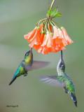 Magnificent Hummingbird & Fiery-throated Hummingbird 2013