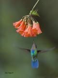 Fiery-throated Hummingbird 2013 - 3