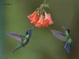 Hummingbirds 2013
