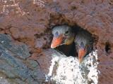 Stork-billed Kingfisher - chicks in nest