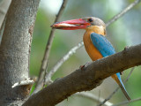 Stork-billed Kingfisher - sp 393***