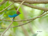 Bay-headed Tanager - female 2