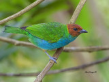 Bay-headed Tanager 2013 - Caribbean