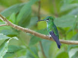 Green-crowned Brilliant - female 2013