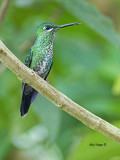 Green-crowned Brilliant - female 2 - 2013