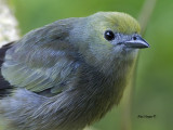 Palm Tanager - portrait 2013