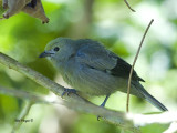Palm Tanager 2013