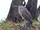 Bare-throated Tiger-Heron - Caribbean - juvenile - 2013