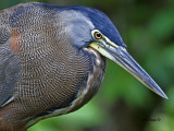 Bare-throated Tiger-Heron - Caribbean - portrait - 2013