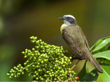 White-ringed Flycatcher 2013 - 3