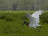 Jabiru 2013 - take off