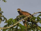 Harris's Hawk 2013