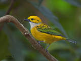 Silver-throated Tanager 2013 - 1