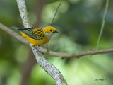 Silver-throated Tanager 2013 - 2