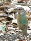 Blue-rumped Pitta - female - 2014 - 2