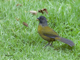 Large-footed Finch - 2013 - 3