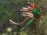 Resplendent Quetzal - male 3 - 2013