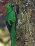 Resplendent Quetzal - male 2 - 2013