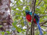 Resplendent Quetzal - male 5 - 2013