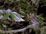 Bare-shanked Screech-Owl 2013