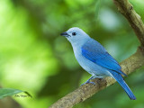 Blue-gray Tanager - 2013
