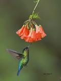 Fiery-throated Hummingbird - 2013 - 2