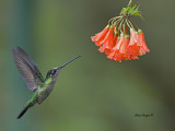 Magnificent Hummingbird - female - 2013