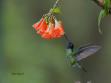 Magnificent Hummingbird - male - 2013 - 2