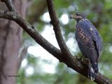 Mangrove Black-Hawk - 2013
