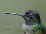 Magnificent Hummingbird - male - profile - 2013