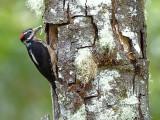 Hairy Woodpecker - 2013