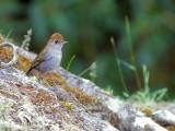 Ruddy-capped Nightingale-Thrush - 2013