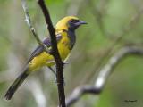 Black-cowled Oriole - juvenile - 2013