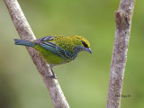 Speckled Tanager - 4 - 2013