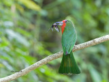 Red-bearded Bee-eater - 3