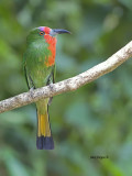 Red-bearded Bee-eater - 2