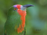 Red-bearded Bee-eater - portrait