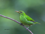 Green Honeycreeper - female - 2013