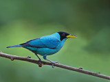 Green Honeycreeper 2013