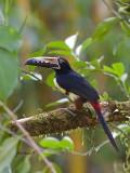 Collared Aracari 2013 - 2