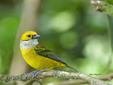 Silver-throated Tanager 2013 - 3